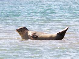 Phoque-veau-marin-Phoca-vitulina_2014-08-15-17-17-18