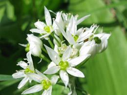 Allium-ursinum-1
