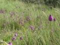 Anacamptis pyramidalis (Orchidaceae)_ALI.jpg