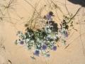 Eryngium maritimum (Apiaceae)_ALI.jpg