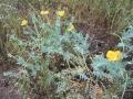 Glaucium flavum (Papaveraceae).jpg
