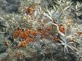 Hippophae rhamnoides (Elaeagnaceae).jpg