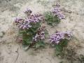 Limonium auriculae-ursifolium (Plumbaginaceae).jpg