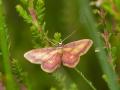 Idaea muricata, la Phalène aurorale_2015-07-14 10-11-00