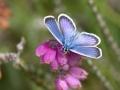 Polyommatus icarus, l'Azuré de la Bugrane_2015-07-21 11-46-04