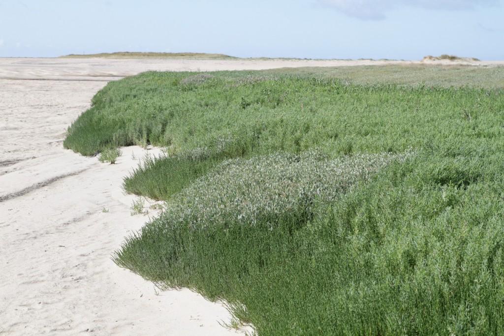 Habitat à salicornes et obione, milieu à haute production biologique indispensable à la chaîne alimentaire.
