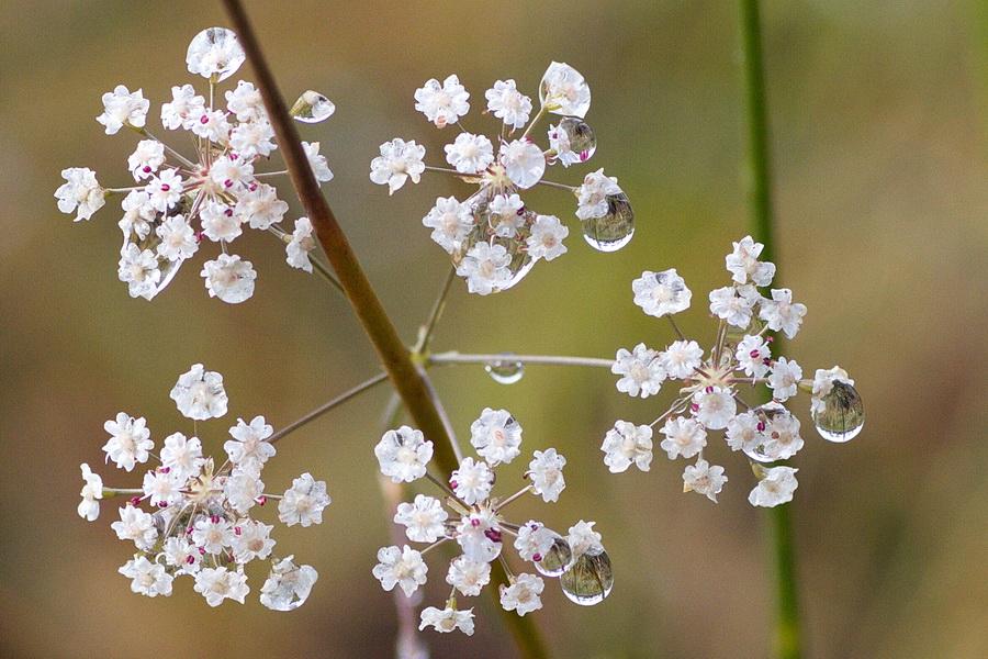 Carum verticilliatum (Apiaceae), le Carvi verticillé