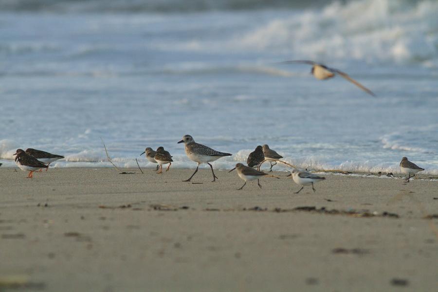 Limicoles : Pluvier argenté, bécasseaux sanderlings, bécasseaux variables et tournepierres à collier (Photo Philippe Scolan)
