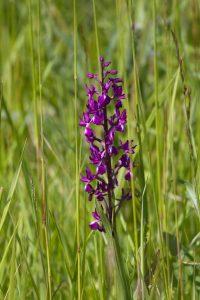 Orchis à fleurs lâches, <em>Anacamptis laxiflora</em>