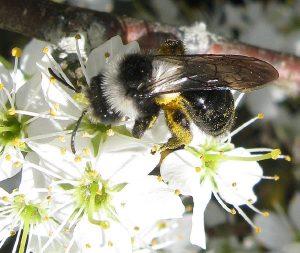 Andrena cineraria, l'abeille des sables