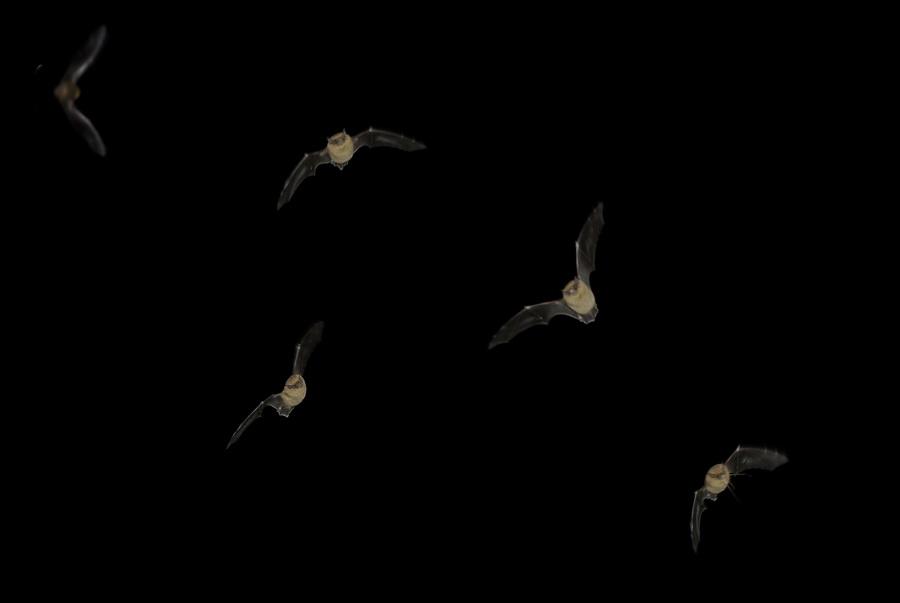 Chez les chauves-souris, mammifères volants insectivores, la majorité des espèces est très menacée (Photos Manche-Nature)