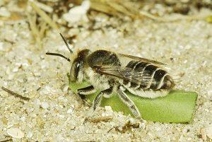 Megachile (leachella ou pilidens) femelle transportant un morceau de feuille vers son nid.