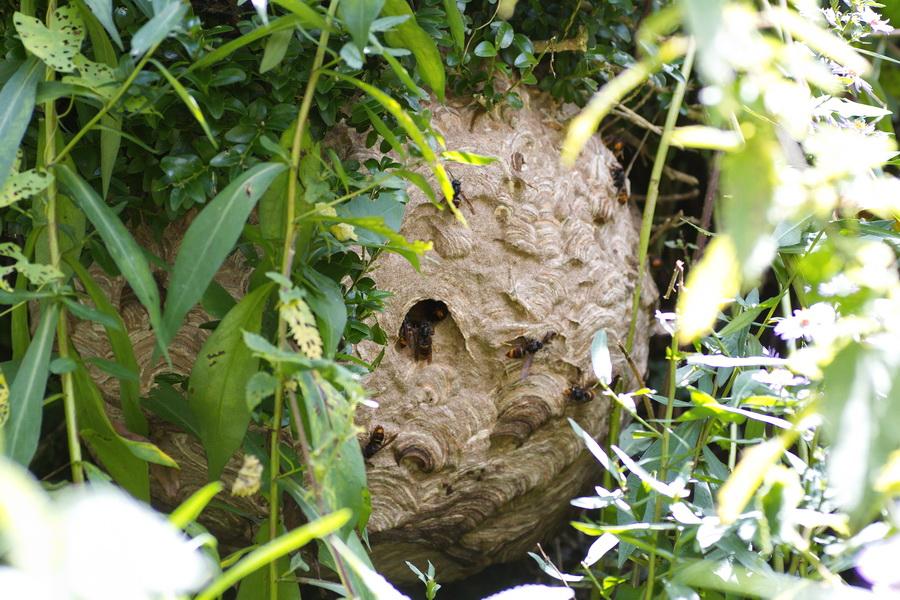 Le frelon asiatique est très discret. Ce nid d'une quarantaine de centimètres situé dans un buis près d'une maison est passé inaperçu très longtemps. (photo Philippe Scolan)