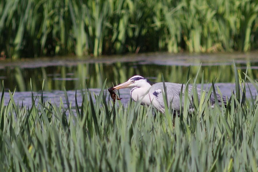 Le héron cendré est un prédateur des écrevisses américaines. (Photo Philippe Scolan)