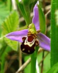 l'ophrys abeille